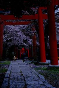 古都の桜を求めて (東山) 散策撮影会(4月6日) @ 京都市 | 京都府 | 日本