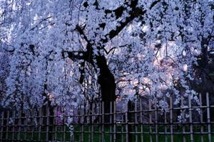 京都御苑のしだれ桜とその周辺散策撮影会(3月28日) @ 京都市 | 京都府 | 日本