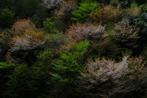 4月8日 誠に申し訳ございませんが中止させていただきます。 周山街道を行く 桜の山里 散策撮影会 @ 京都市 | 京都府 | 日本