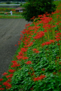彼岸花を求めて 大原の里 散策撮影会(9月24日) @ 大原の里 | 京都市 | 京都府 | 日本