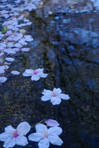 古都の桜を求めて 散策撮影会(4月1日) @ 京都市   京都府   日本