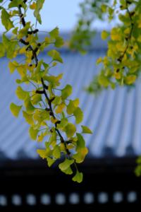 銀杏が綺麗 東・西本願寺周辺 散策 撮影会  (11月17日) 京都 @ 京都市 | 京都府 | 日本