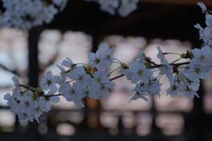 古都の桜 満喫します! 西陣周辺散策撮影会(4月1日) 京都 @ 京都市 | 京都府 | 日本