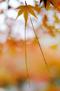 静かな京都 嵯峨嵐山周辺 散策 撮影会  (11月27日) 京都 @ 京都市 | 京都府 | 日本