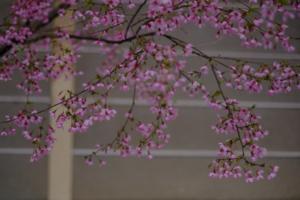 春探し 市バス203系統+夕刻の桜 京都御苑 撮影会 3月31日 京都 @ 京都市 | 京都府 | 日本