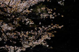 里山の桜 大原の里 散策撮影会  4月6日 京都 @ 京都市   京都府   日本