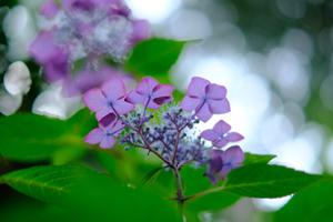 ゆったり5名 紫陽花のころ 哲学の道周辺 散策撮影会 6月13日 京都 @ 京都市 | 京都府 | 日本