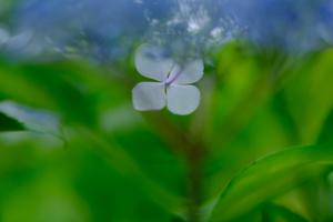 ゆったり5名 紫陽花のころ 哲学の道周辺 散策撮影会 6月17日 京都 @ 京都市 | 京都府 | 日本