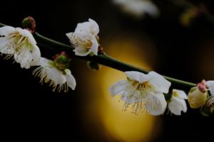 梅の北野天満宮周辺 散策 撮影会  2月17日 京都 @ 京都市 | 京都府 | 日本
