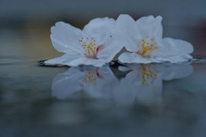 早咲きの桜を求めて あちこち 散策撮影会  3月20日 京都 @ 京都市 | 京都府 | 日本