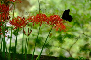 彼岸花を求めて 大原の里 周辺 散策撮影会 9月19日 京都 @ 京都市 | 京都府 | 日本